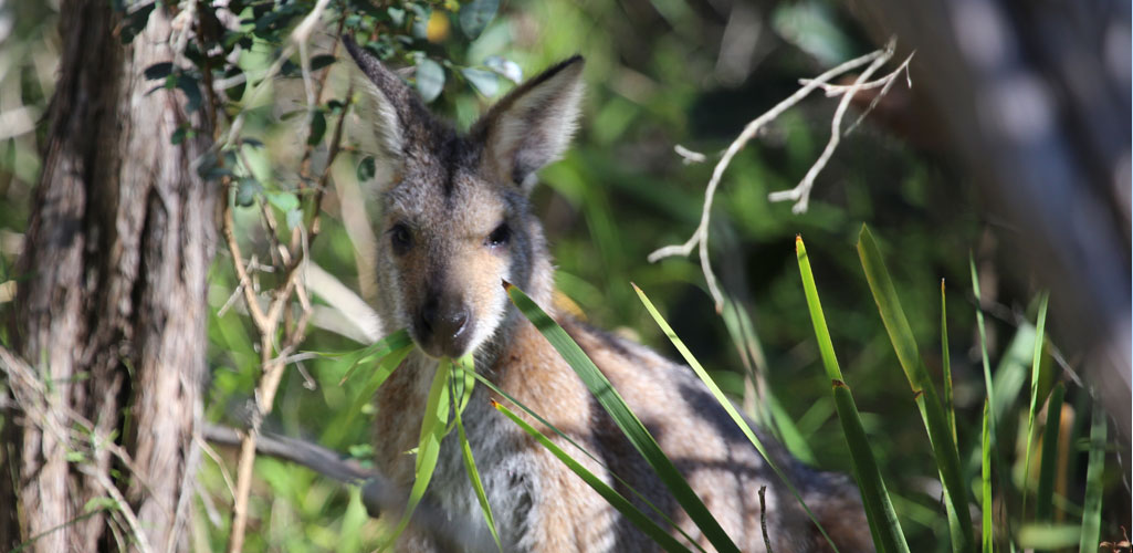 Wallaby visiting the campsite